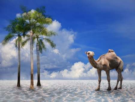 camel on sand desert with blue sky background  photo