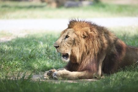 lion lying and relaxing on green field use for multipurpose photo