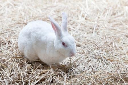 lapin blanc: fichier de lapin blanc sur l'herbe s�che