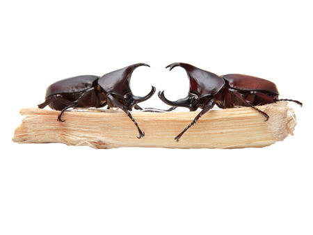 horn beetle: two of Rhinoceros beetle, Rhino beetle, Hercules beetle, Unicorn beetle, Horn beetle on sugar crane isolated white for multipurpose