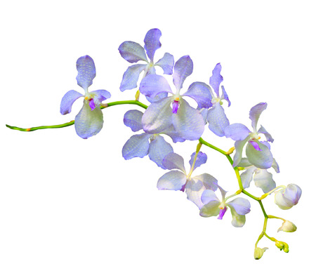 vanda:  purple vanda coerulea orchid flower isolated on white background use for decoration and multipurpose Stock Photo