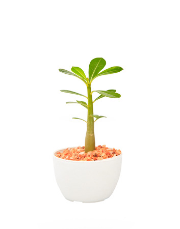 cactus tree plant  with green leaves in white pot isolated white  photo