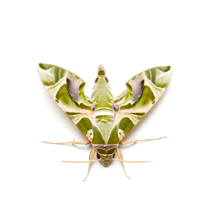animal body part: moth night butterfly on white background Stock Photo