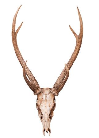 huge antlers: samba deer skull horn isolated on white backgorund use for multipurpose
