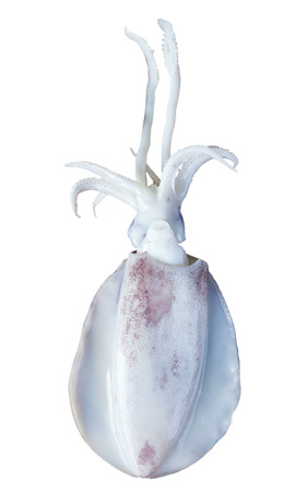 sea food: fresh squid isolated white background use for sea food topic and sea animals related