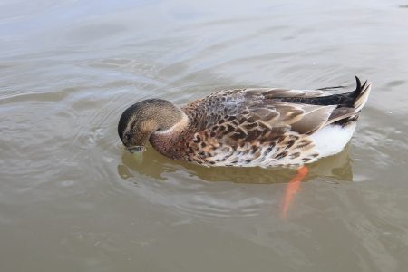duck floating on fresh water  photo