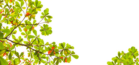 wide form of green and red sea almond leaves with tree branch isolated on white background use as natural copy space or multipurple backdrop photo