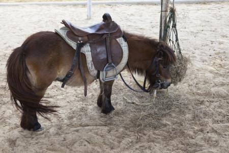 little dwarf horse in ranch farm photo