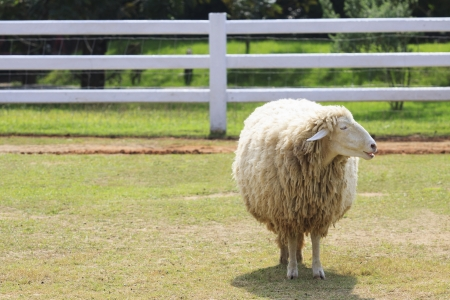 stupid body: body part of sheep face standing on green grass field in ranch farm