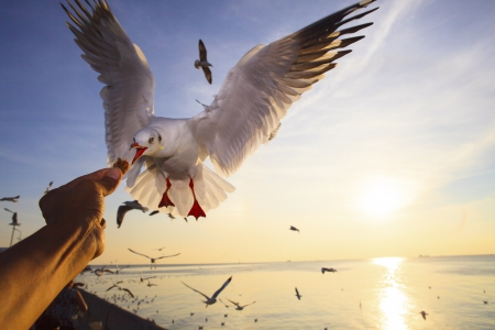 sea gull: hand feeding food to sea gull while flying hovering with sun set background
