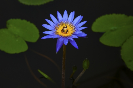 water lilly:  bee insect in purple lilly lotus flower in dark water pool Stock Photo