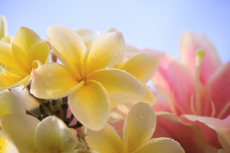 close up of white yellow frangipani flower petal with pink lilly background against light blue sky behind for beuatiful background backdrop photo