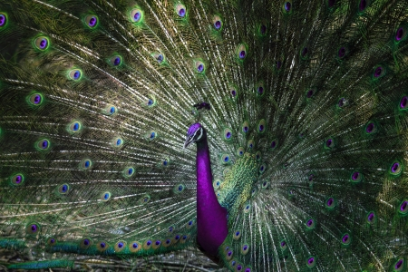 close up of indian peacock with beautiful unreal color of  tail feathers  photo