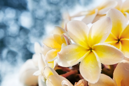 white frangipani flowers bouquet with fresh water dew against  blue blur background use for copyspace and nature background backdrop  photo
