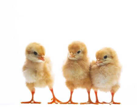 小さな黄色い子供ひよこ立って品種感情と白い背景の上の 3 つの動物農場テーマと多目的使用します。