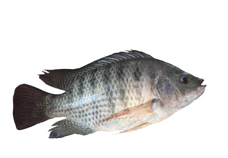 nile fish isolated white photo