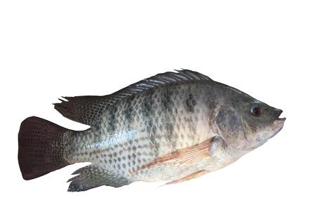 nile fish isolated white photo