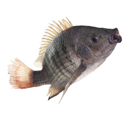 nile tilapia: nile fish jumping isolated white background use for nature animals and marine life