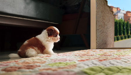 adrable baby shih tzu puppy dog sitting in front of home door and looking to out side Stock Photo - 25924173