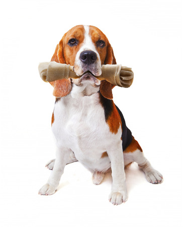 face of beagle dog with rawhide bone in his mouth isolated white background use for cute  animals and lovely pets theme photo
