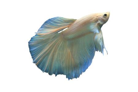 siamese fighting fish: fighting fish betta isolated white
