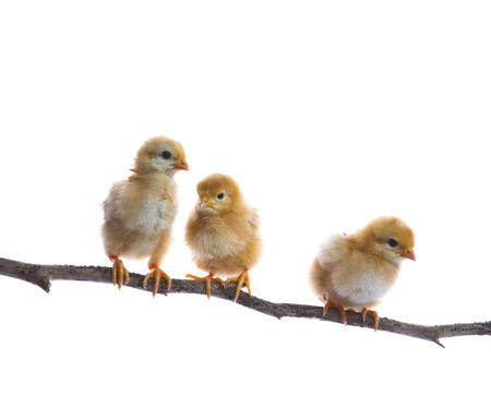 three of new born chick on dry tree branch  isolated white  photo