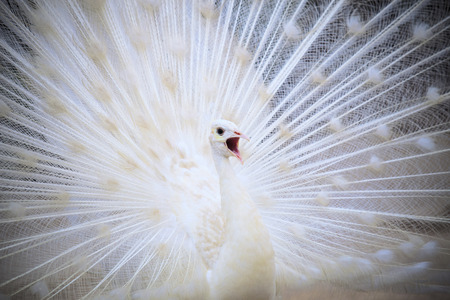 tail fan: white male indian peacock with beautiful fan tail plumage feather showing for breeding to female and loudness single open mouth Stock Photo