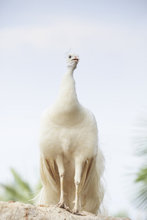 tail fan: white indian peacock perching on top of rock ground showing beautiful feather elegance