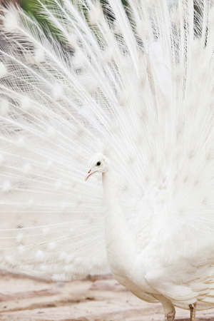 tail fan: close up face of white indian peacock with beautiful breeding fan tail