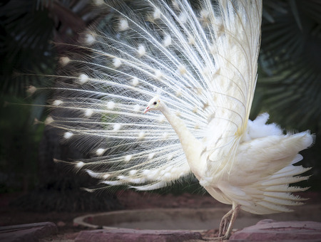 tail fan: white male indian peacock with beautiful fan tail plumage feather showing for breeding to female Stock Photo