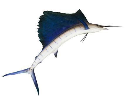 sailfish: sailfish flying midair isolated white background use for marine ,sea ocean life topic and multipurpose
