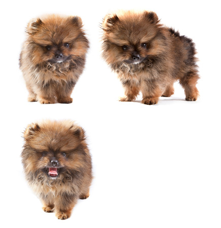 full body of t-cup pomeranian puppies dog photo