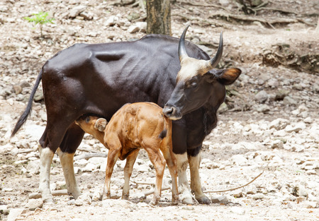young kid guars drinking milk from mother guars photo