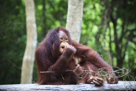 indonesia orangutan with nature blurry use for animals theme nad wild life topic photo