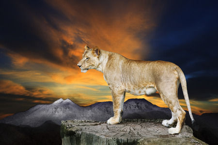 lions rock: African lioness female standing on rock cliff against beautiful dusky sky  Stock Photo