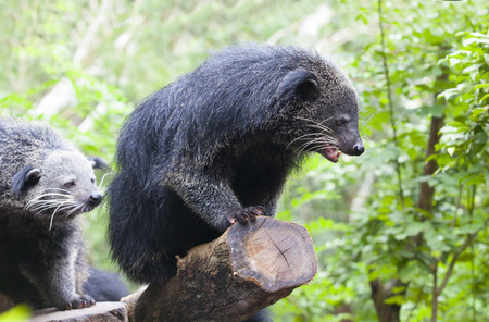 animal body part: close up binturong in nature wild