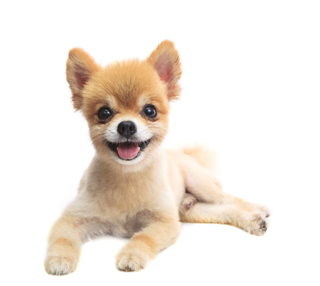 close up face of pomeranian puppy dog lying isolated white background use for pets and animals lovely theme photo