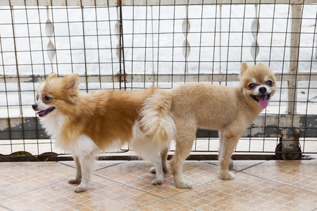 male and female pomeranian dog mating  photo