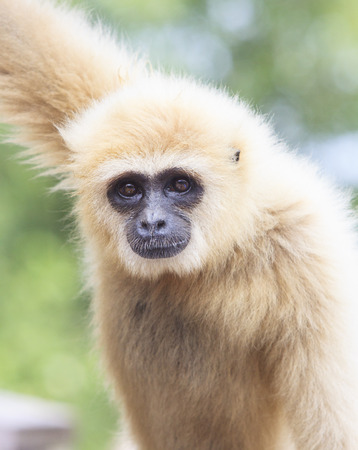 hominid: close up face of White Cheeked ,white hand Gibbon or Lar Gibbon