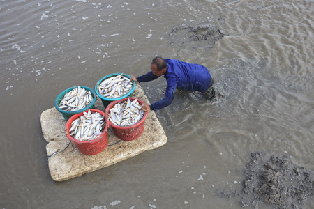 marinelife: SAMUTHPRAKARN THAILAND - AUGUST 31   unidentified man carrying fresh fish from his fishery boat by slidy on mud flat  on august 31 ,2014 in Samuthprakarn province middle of Thailand
