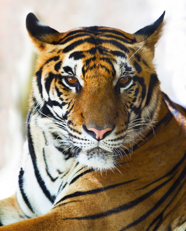 close up face of indo chinese tiger face  photo