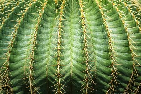 cactus botany: close up textured of cactus plant