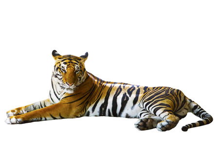isolated white background of indochinese tiger face lying with relax face photo