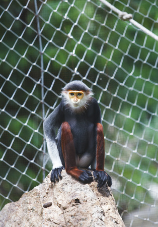 gray langur: Red-shanked douc sitting on rock in animals zoo Stock Photo