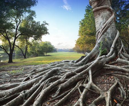 grote wortel boom in groen park