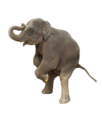 young asia elephant kid playing lifting front legs to show isolated white background
