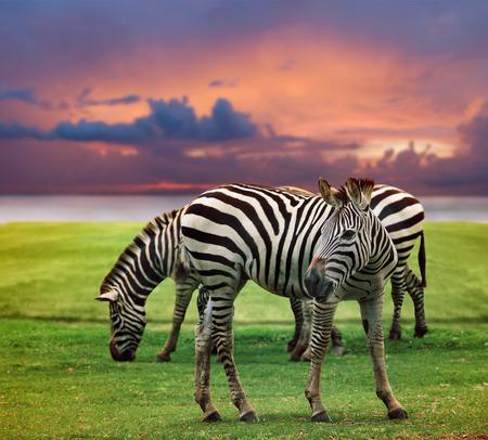 wilde zebra staan in groen gras veld tegen mooie donkere hemel gebruik voor in het wild leven en dieren in afrika safari woestijn Stockfoto