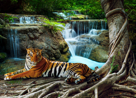 body scape: indochina tiger lying with relaxing under banyantree against beautiful pure nature limestone waterfalls use as green natural background ,backdrop Stock Photo