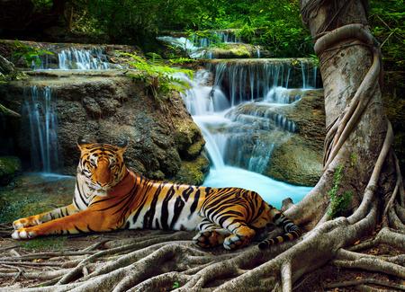Indochina tijger die met ontspannen onder banyantree tegen mooie pure natuur kalksteen watervallen gebruiken als groene natuurlijke achtergrond, Achtergrond Stockfoto