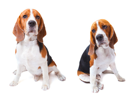 petshop: two beagle dogs sitting on white background use for animals and lovely pets and doggy theme